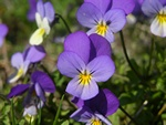 Wild Pansy (Viola tricolor)